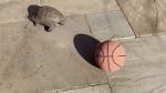 Cette tortue amoureuse du basket fera votre journée